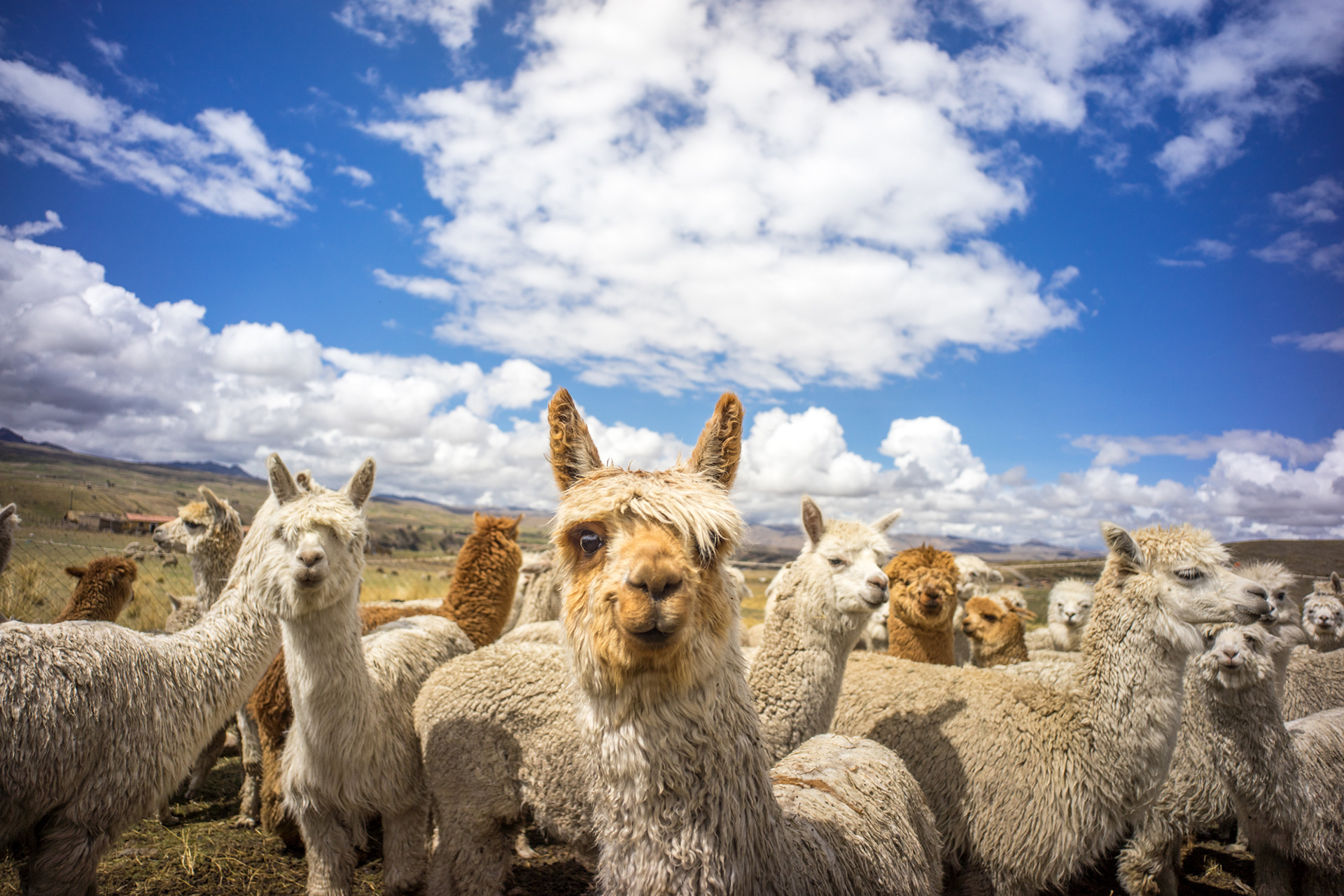 Alpacas on Farm in Peru