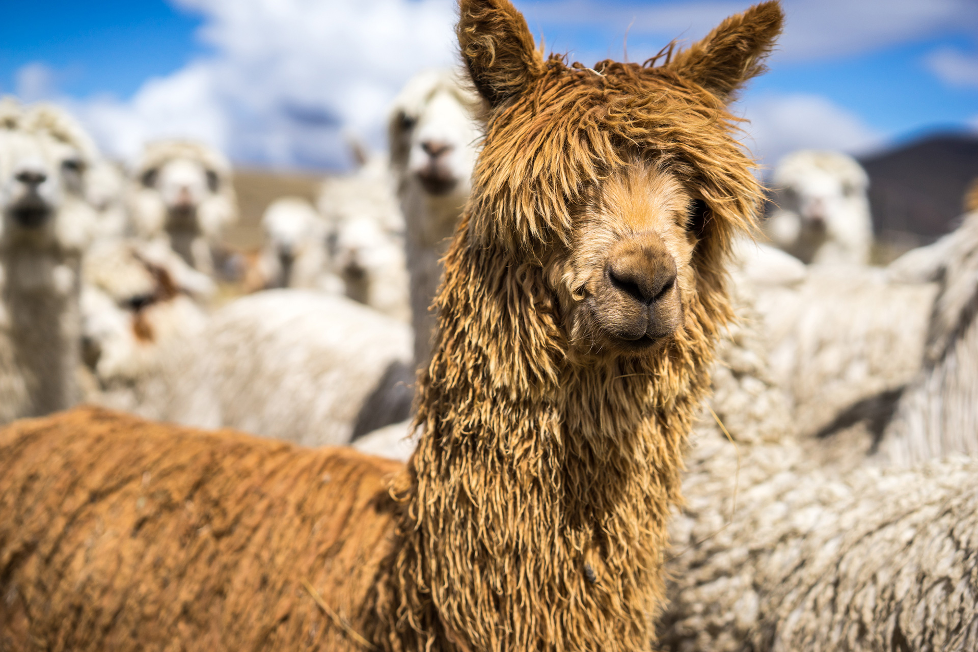 Peru Alpaca Farm Portrait