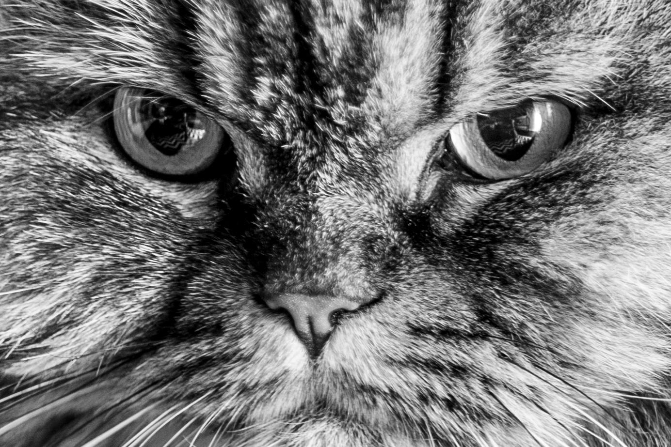 Pet Cat Face Portrait