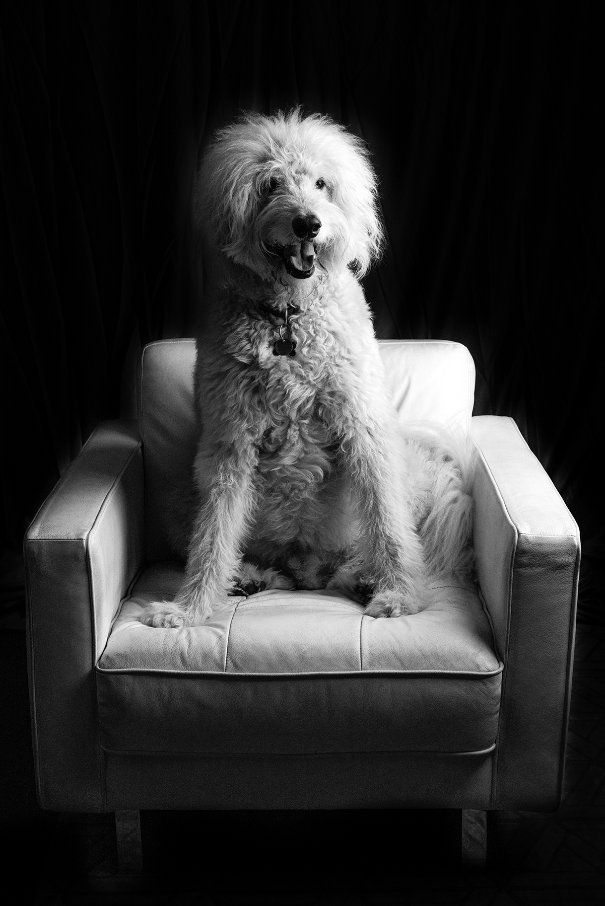 Black and White Labradoodle Pet Photo