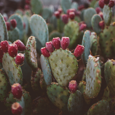 Cooking Up Cactus: Surprising Health Benefits of Native Plants