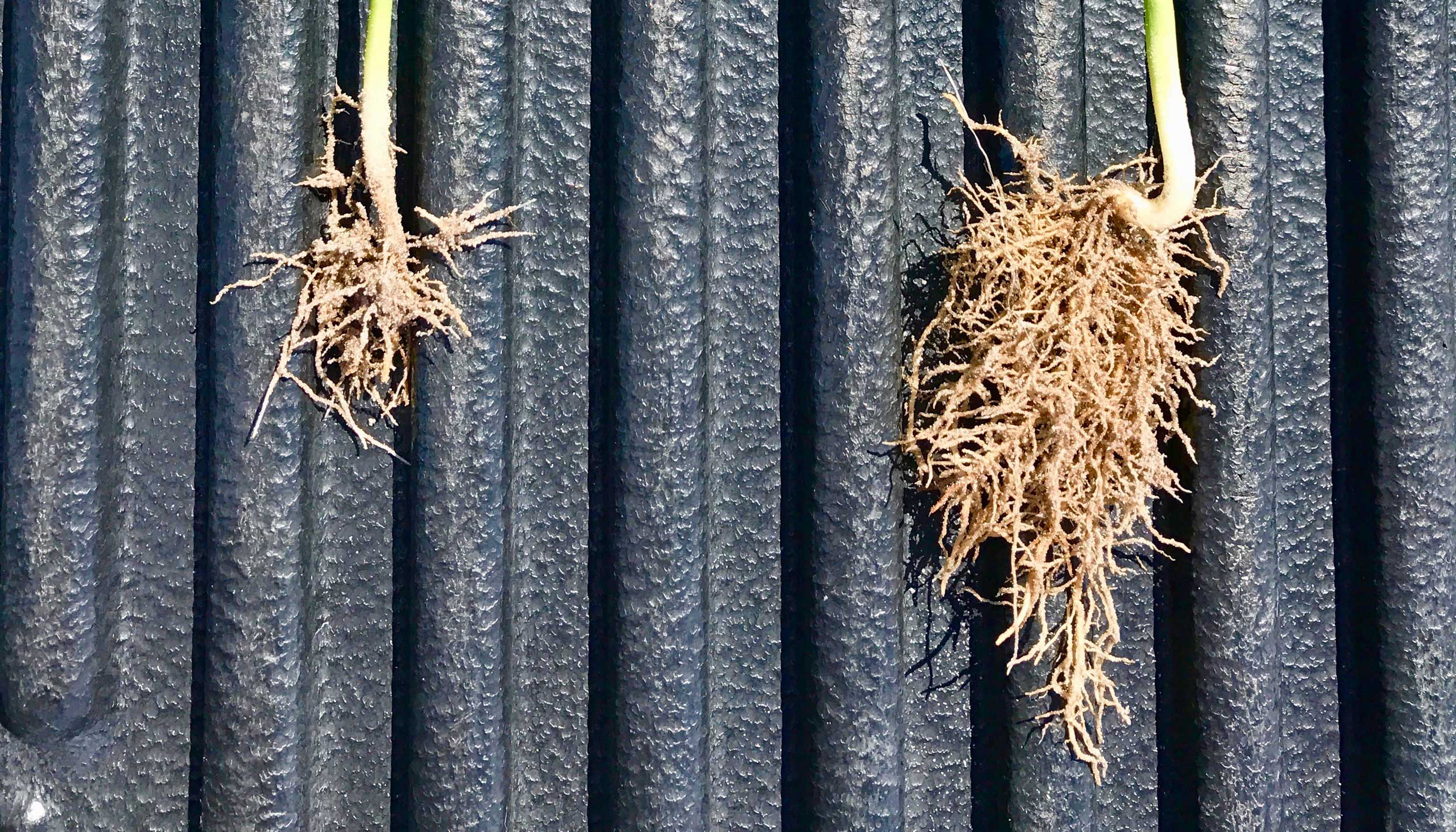 legume root growth comparison with CarbonWorks Restore