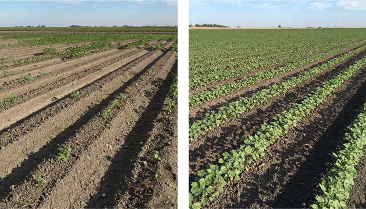Cotton field transforming from no germination to +95% stands with CarbonWorks Restore