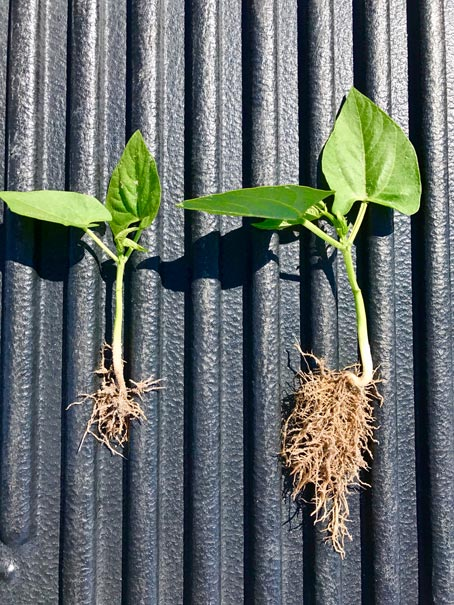 Increased root growth on green bean plant with CarbonWorks RSTC 17