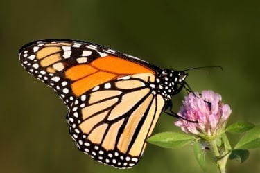 Monarch Butterfly standing in a flower
