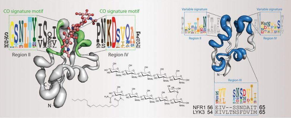 CERK receptors, model