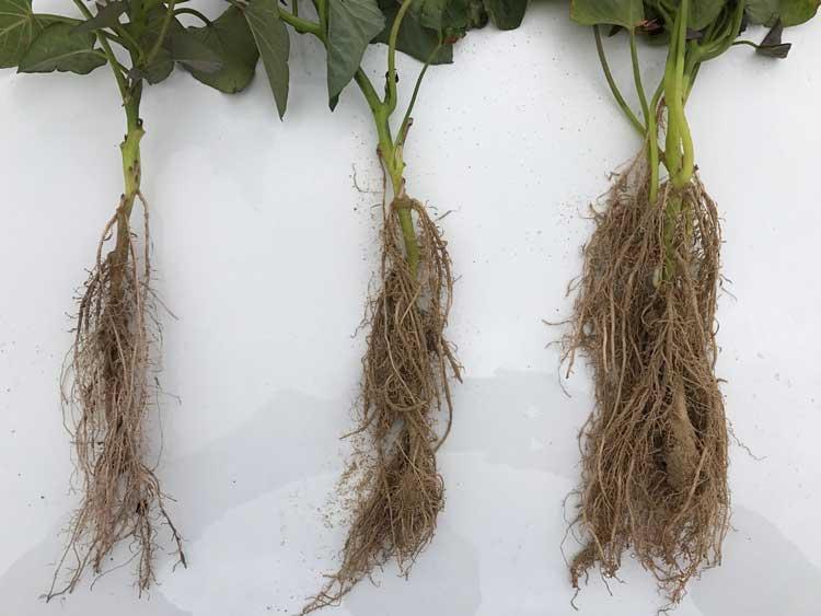 sweet potato root development