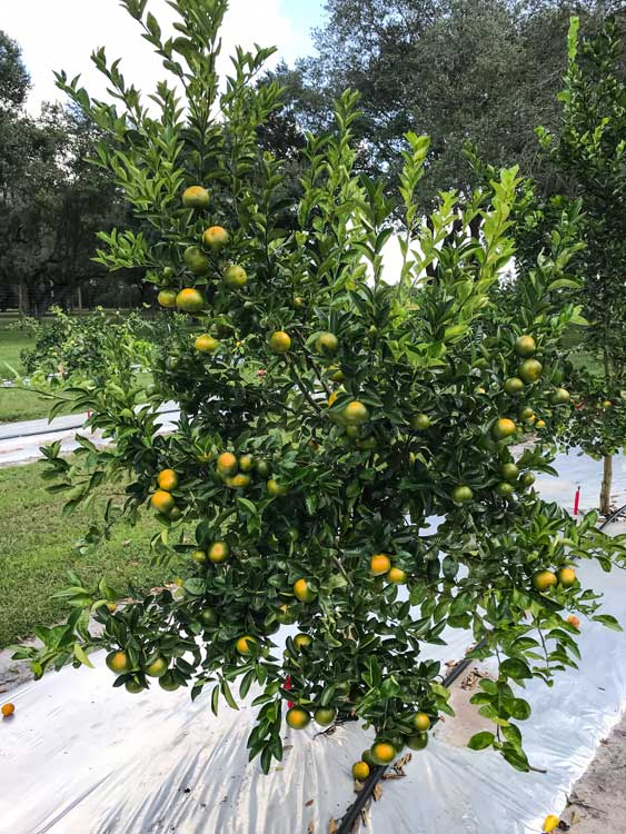 1 year-old tangerine tree grown with CarbonWorks RSTC 17 and CarbonWorks Replenish