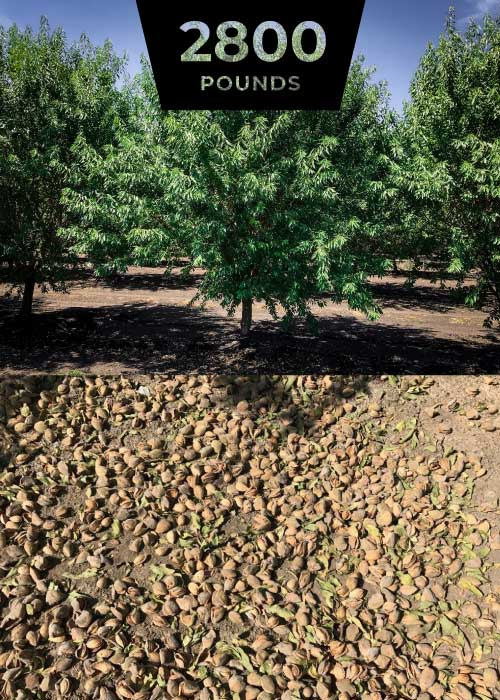 2,800 lbs per acre almond harvest at 5 leaf