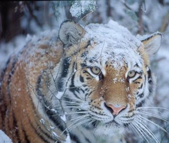 Tiger Health Programme