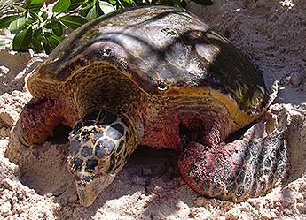 Turtle Rescue, Seychelles