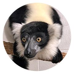 Ruffed Lemurs