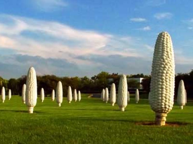 Giant corn cobs