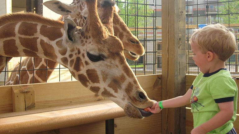 child feeding giraffes at Kalahari Safari Park