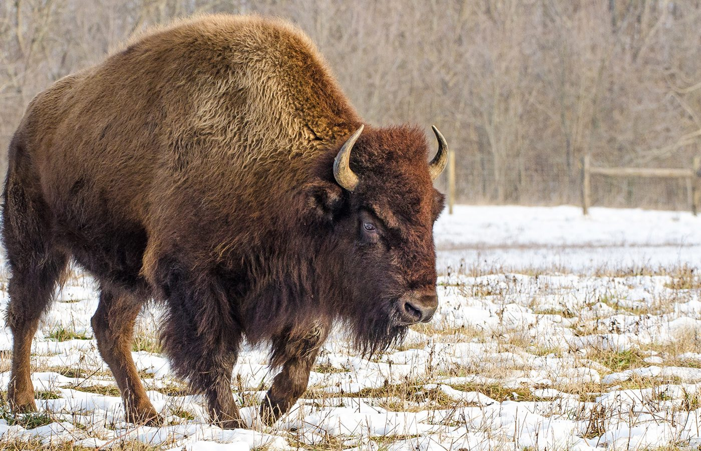 Buffalo in snow at Battelle Darby Creek