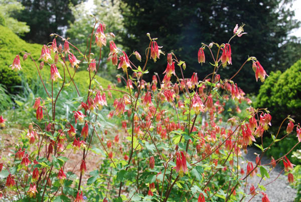 red Canadian columbine flowers