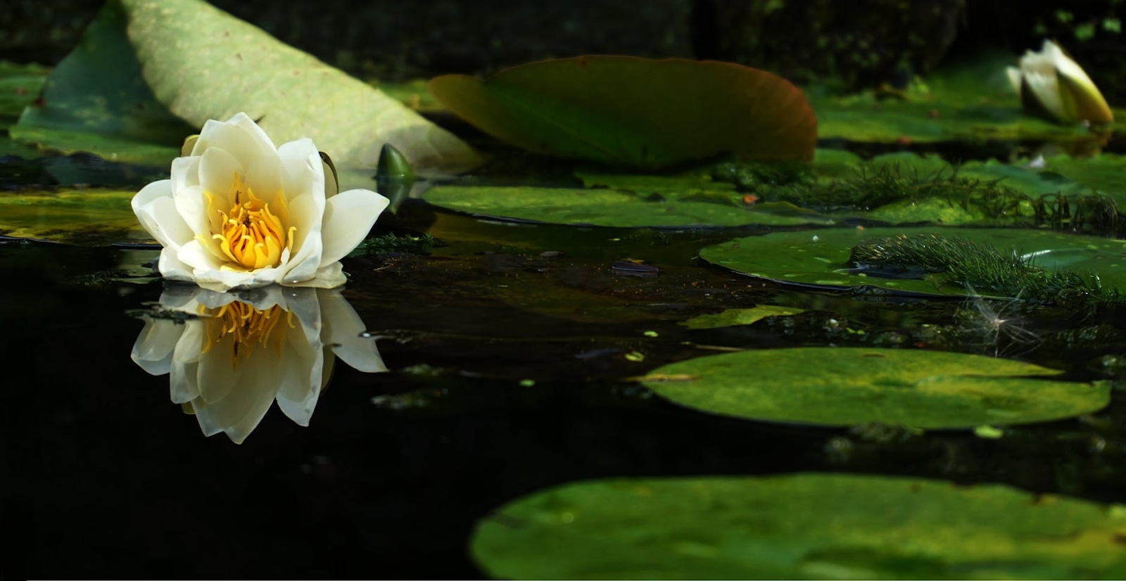 lily pads in a pond.
