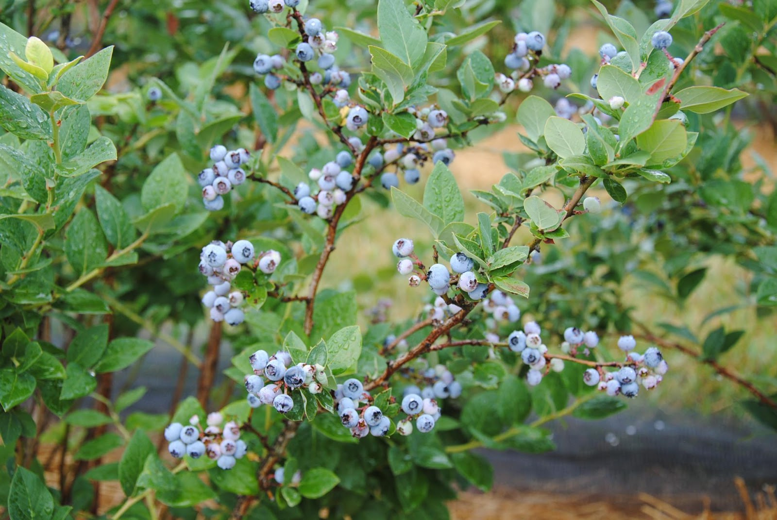 close-up of a blueberry plant