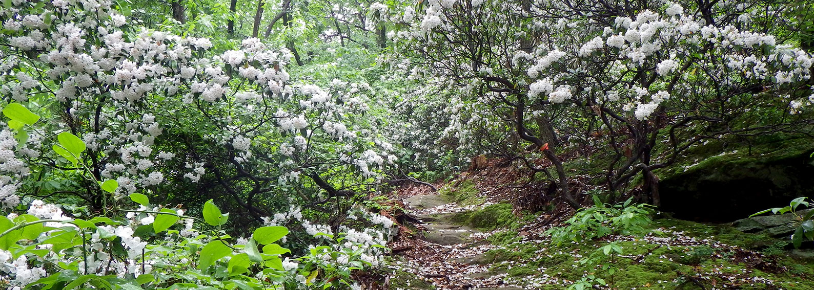 path through bushes with white flowers