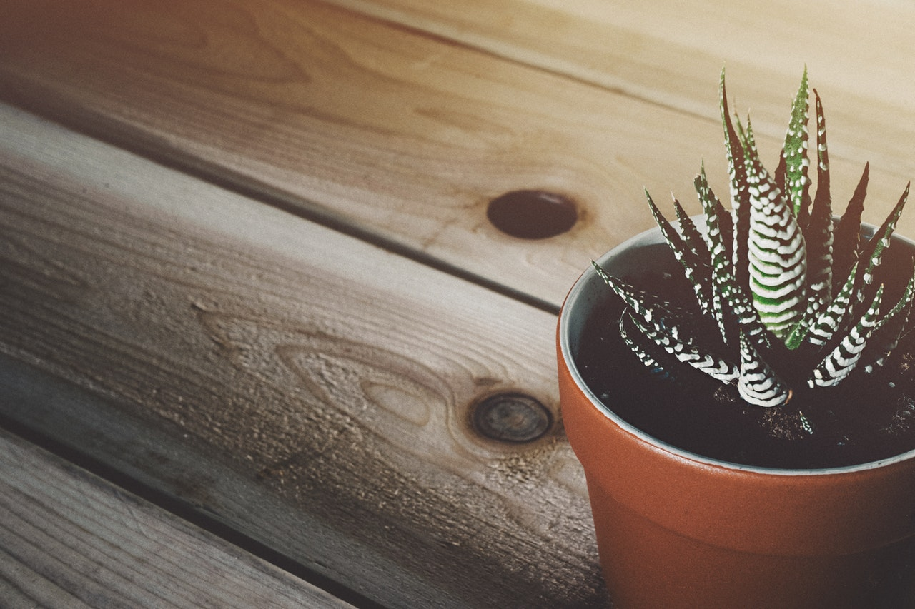 A potted zebra cactus on a wooden table