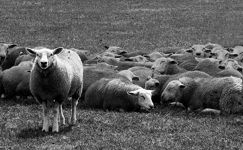 the one sheep