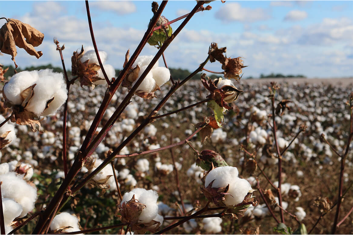Photo of an Egyptian cotton plant