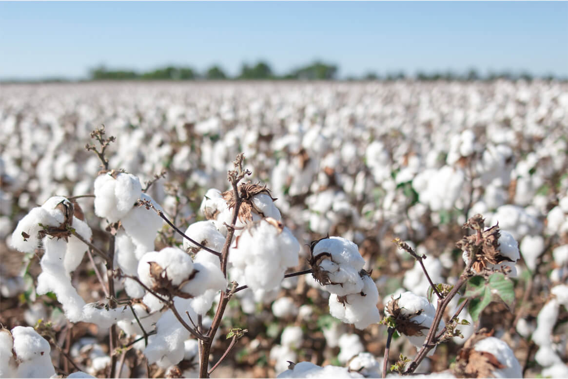Photo of a field of Upland cotton