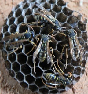 Cascadia Venom Collection wasp nest removal