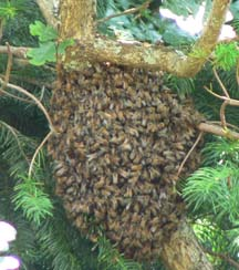 Cascadia Venom Collection honey bee relocation