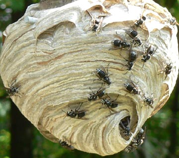 Cascadia Venom Collection hornet nest removal