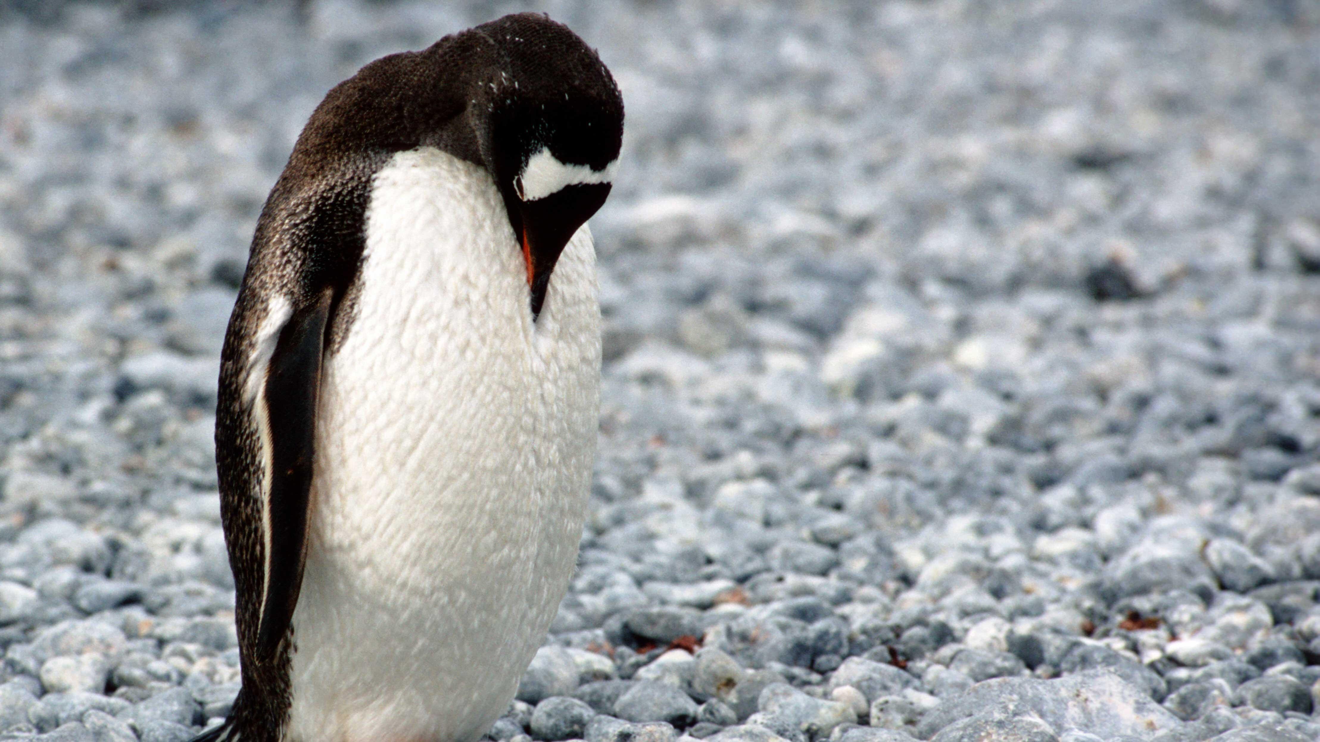 Pinguim de cabeça baixa, demonstrando desânimo.
