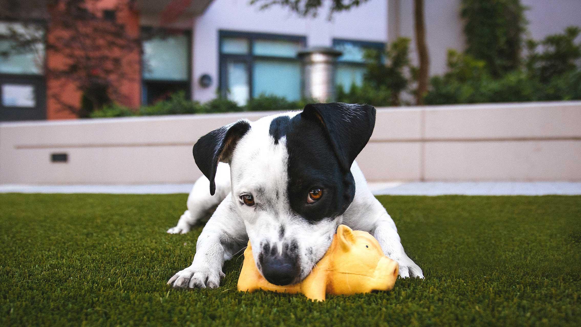 Filhote de cachorro mordendo brinquedo em formato de porco amarelo.