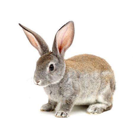 Rabbit D-sexing