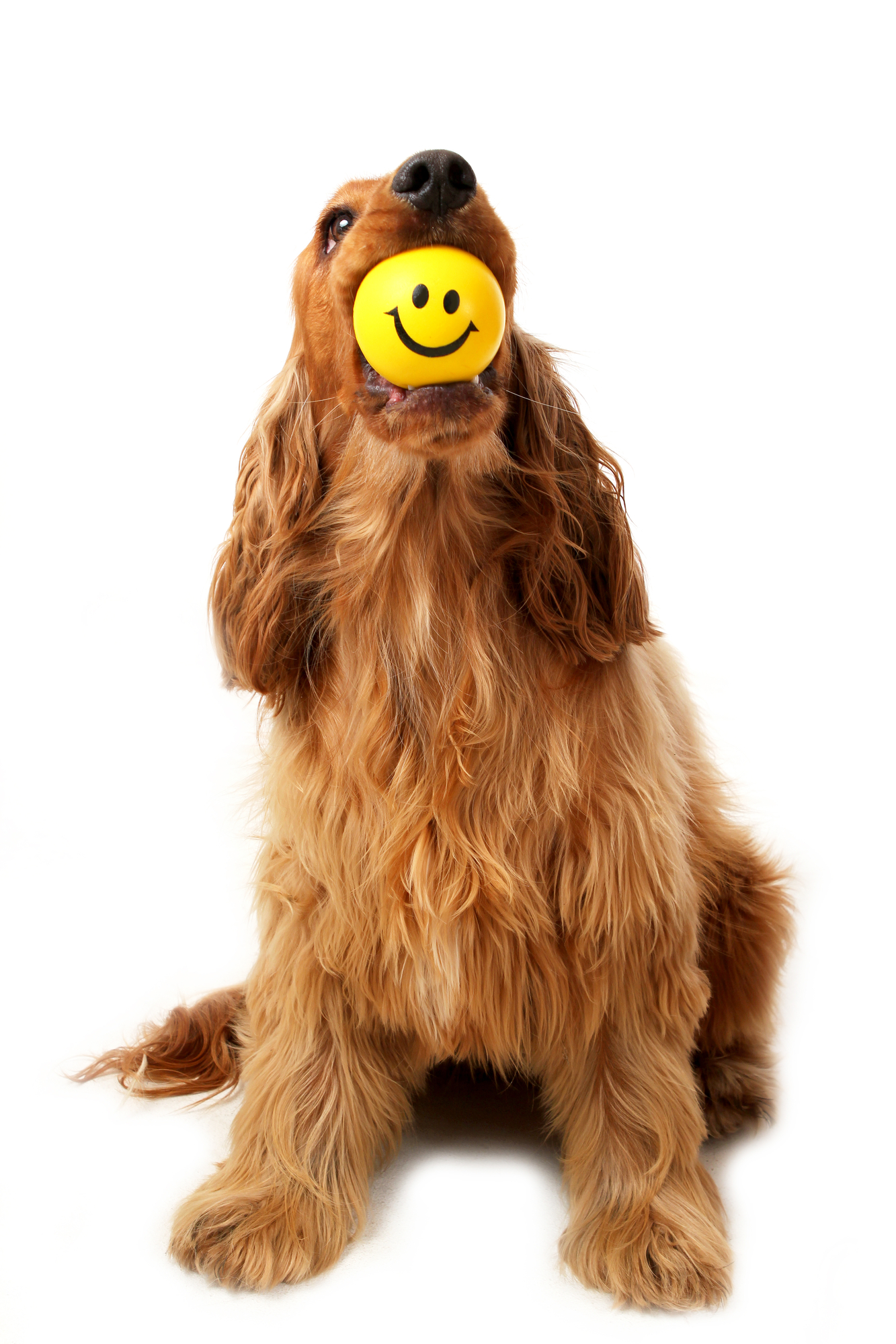 Dog sits with a smiley ball in his mouth