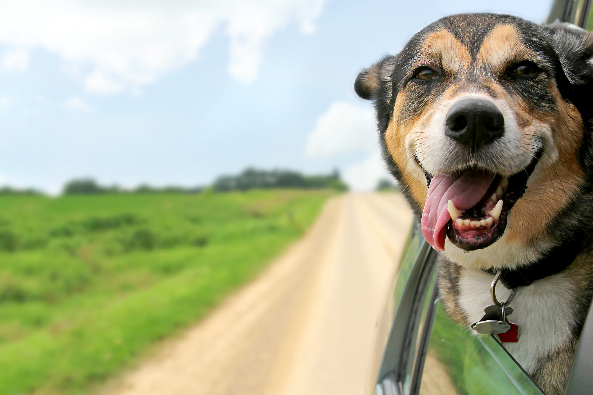 A dog enjoys ticking its head out of the car window