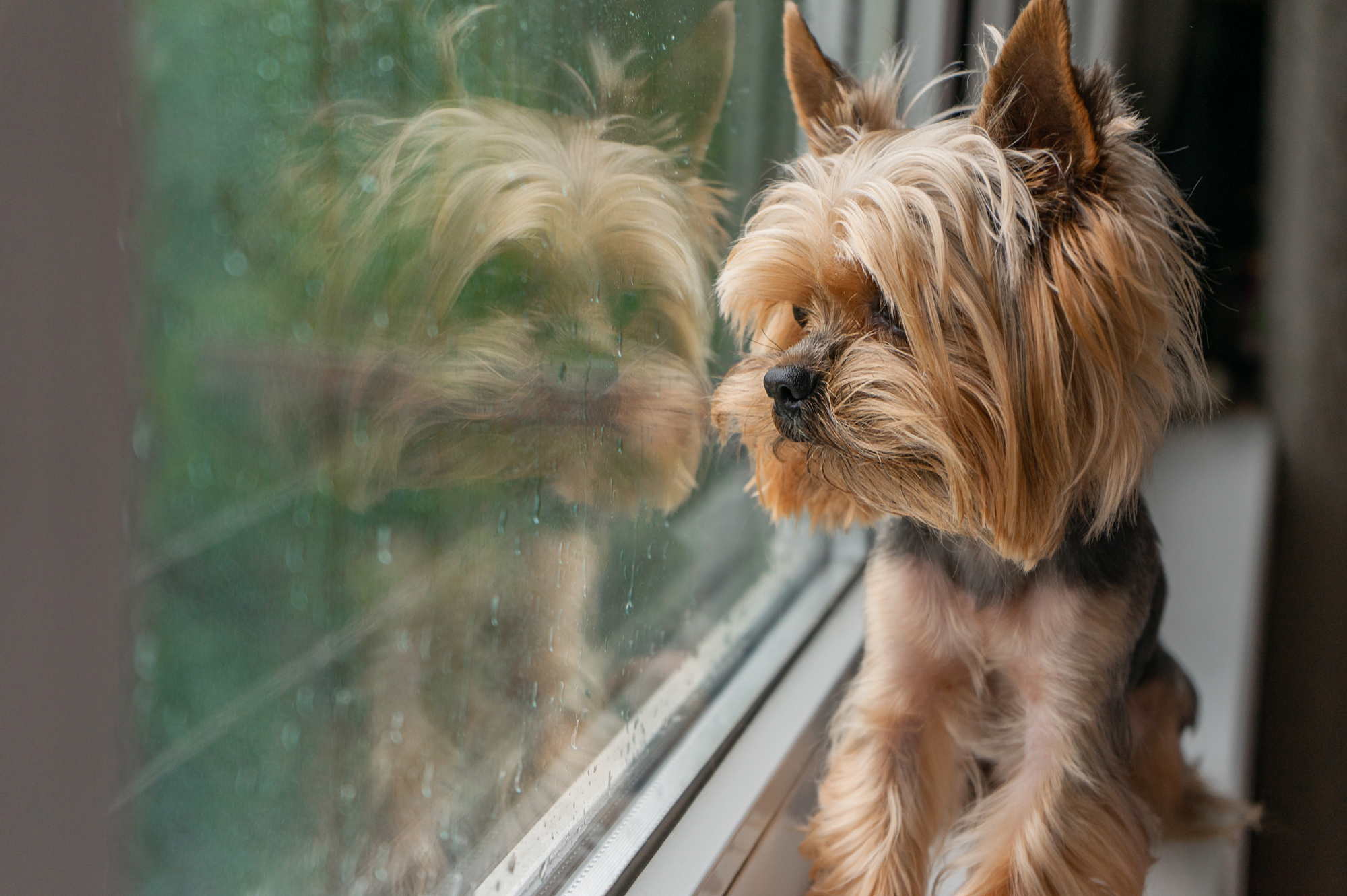 A dog looks out the window
