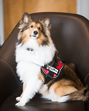 "Emerson Stern, ""Sonny"" - CT-ENT Therapy Dog"