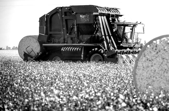 Truck harvesting through cotton field