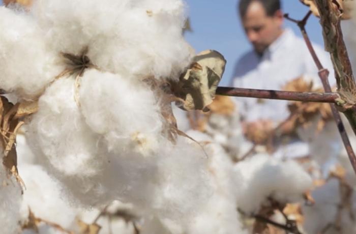 cotton plant and farmer
