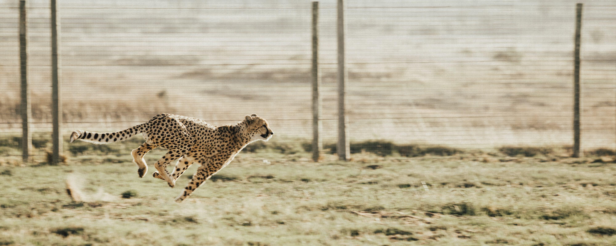 Aspects Of Fluid Movement -  A Cheetah Runs