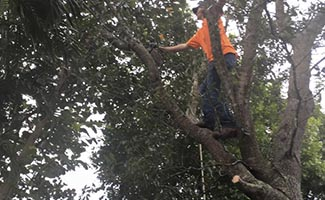 tree trimming and removal service in Cape Coral and Fort Myers Florida