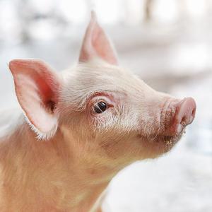 Soluciones Ajinomoto Animal Nutrition