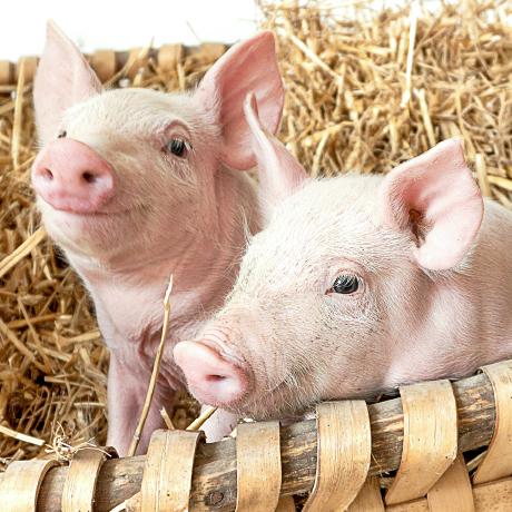 Ajinomoto Animal Nutrition Suinocultura