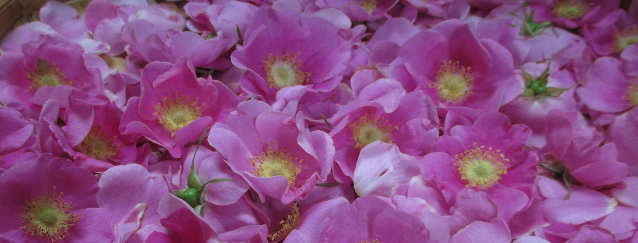 Tending Our Wild Hearts: Rose, Strawberry, and Hawthorne Medicine