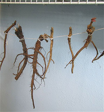 dandelion roots tied along a string to dry