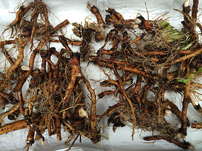 dandelion roots washed of soil