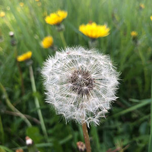 dandelion head gone to seed