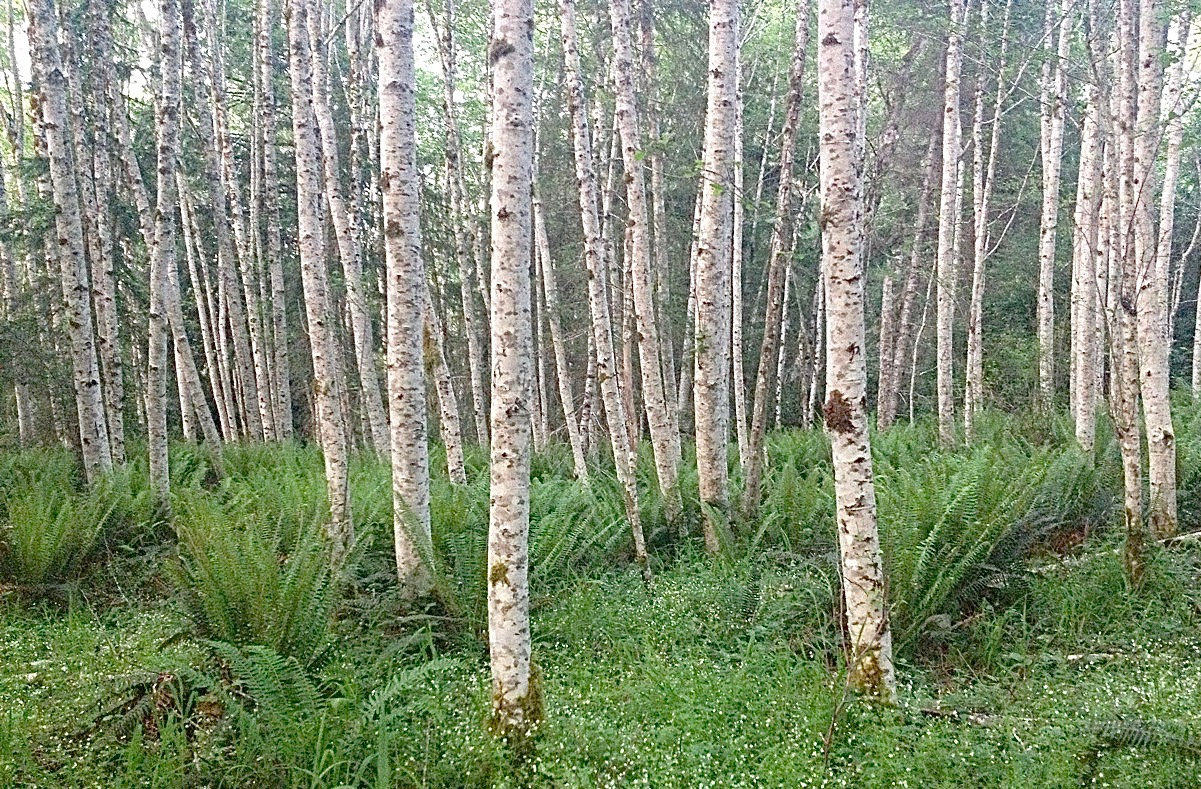 Plant of the Month: Red Alder - The Community Builder