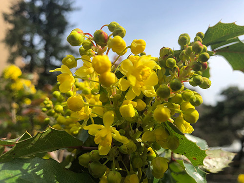 Plant of the Month: Oregon Grape