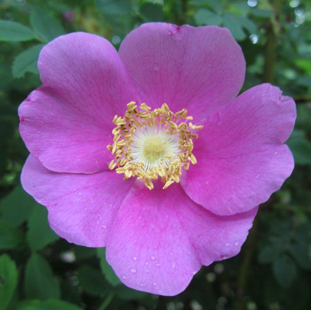 Wild Rose Medicine Workshop